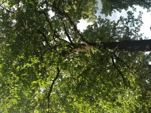 Befallene Eiche in der Waldstr.